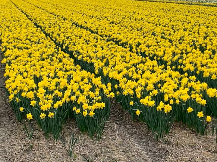 Field with flowering Daffodils
