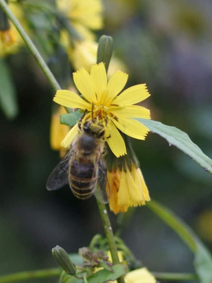 Honey bee collecting nectar