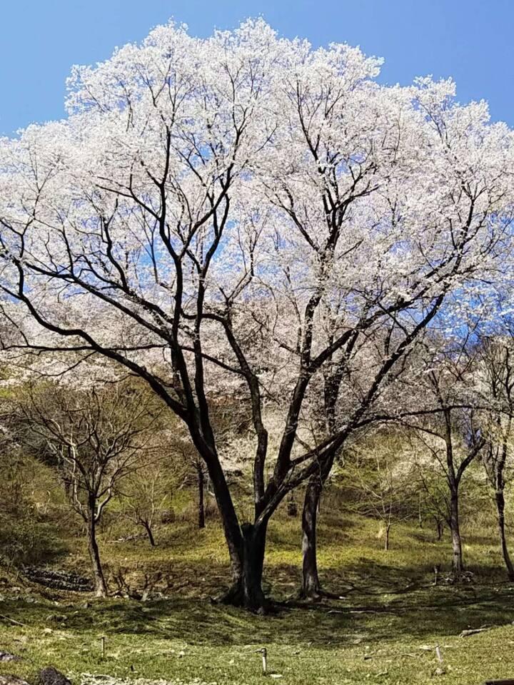 150 years cherry tree