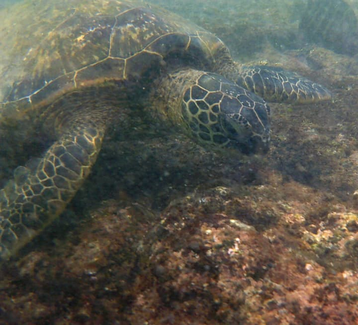 Hawaii's Honu - Turtle!