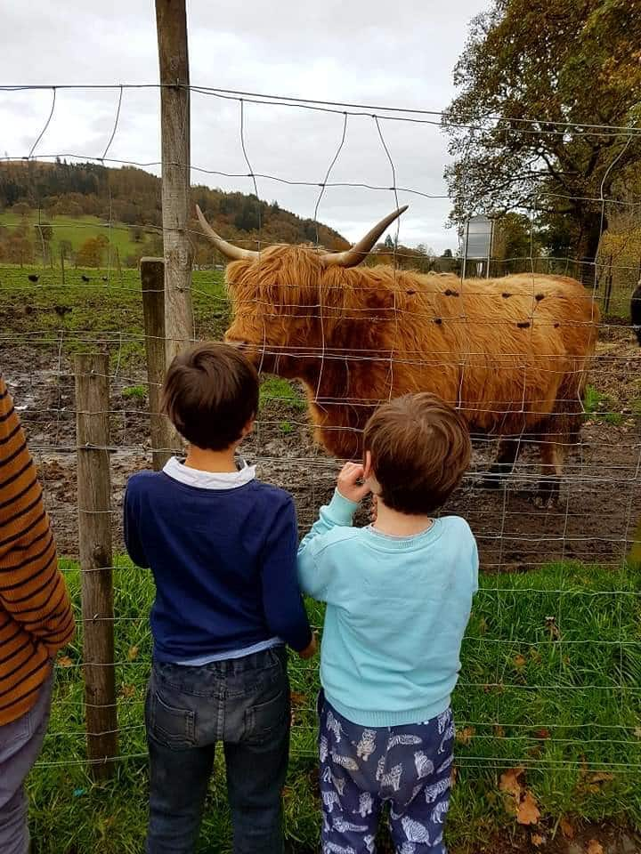 Honey the Highland Coo!
