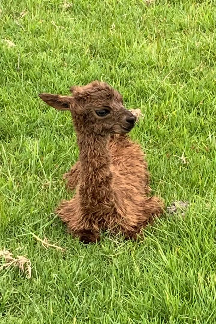 A baby alpaca is a cria