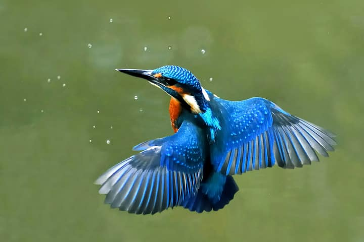 Kingfisher may be seen in flight