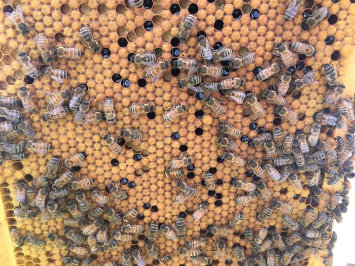 A frame of bees from the hive
