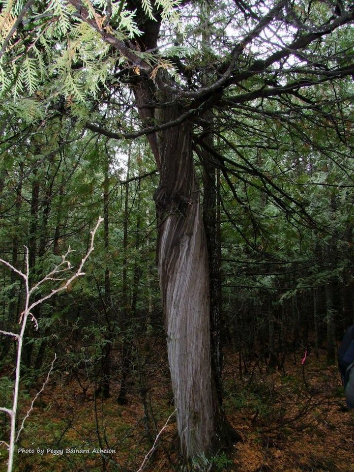 Twisted cedar