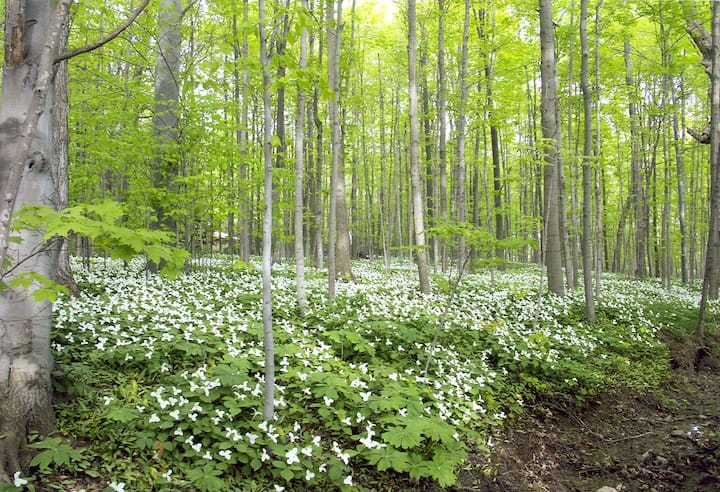Trilliums in the Spring