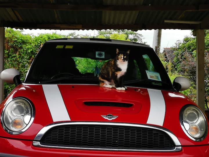 Kiki the cat on the Mini Cooper S