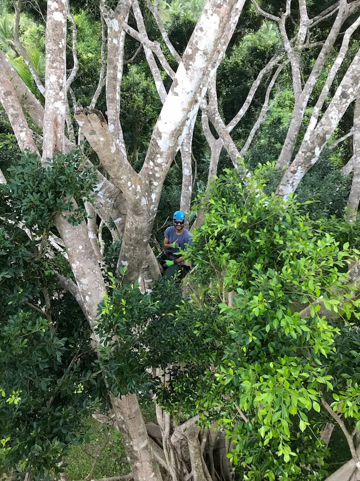 At the canopy of the great ficus tree.