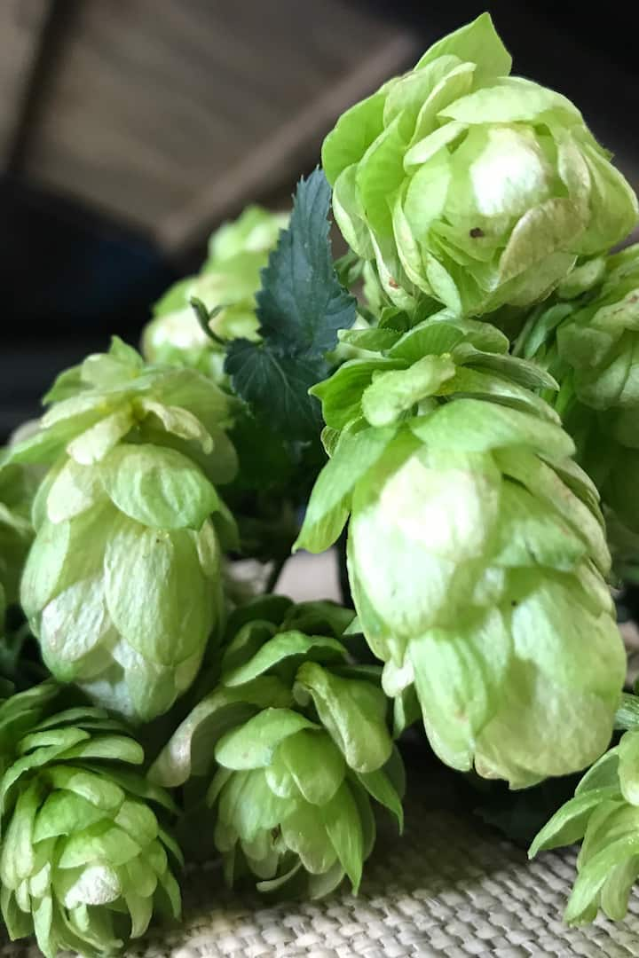 Hops are an ingredient of beer