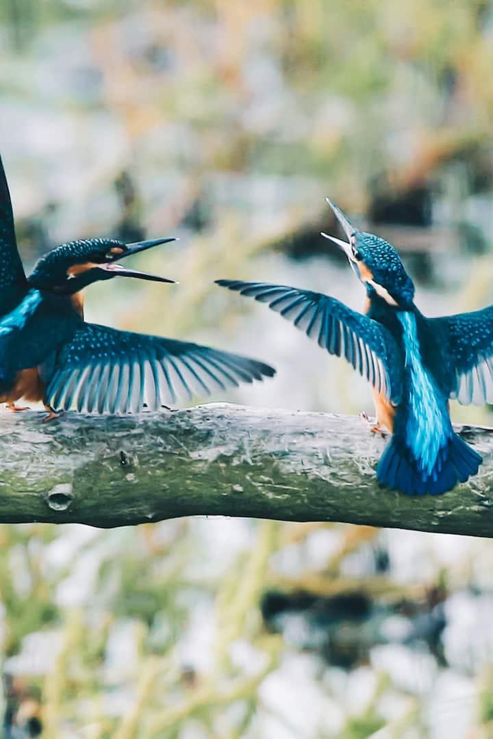 Colourful kingfishers