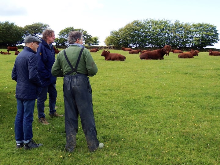 Talking about our pedigree Devon cattle