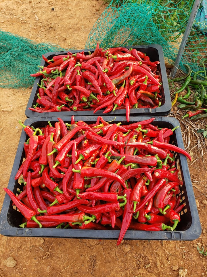 Freshly Harvested Red peppers