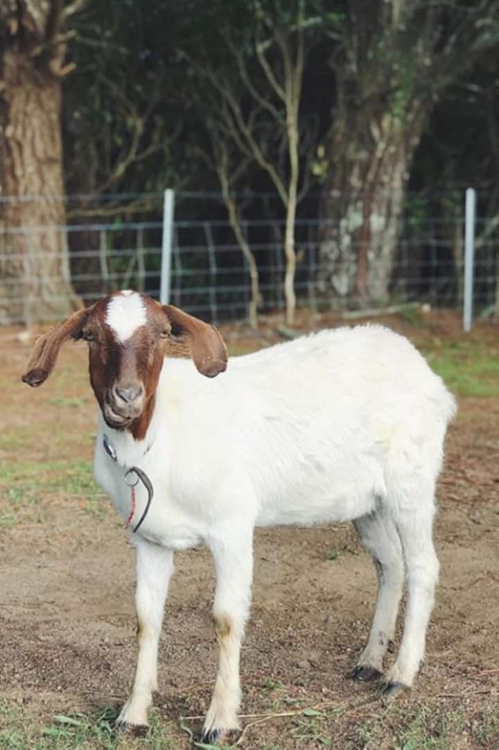 Apple Meredith the needy goat.
