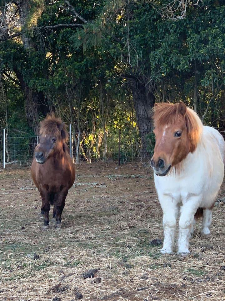 2 Miniature Ponies, Maple & Dundee