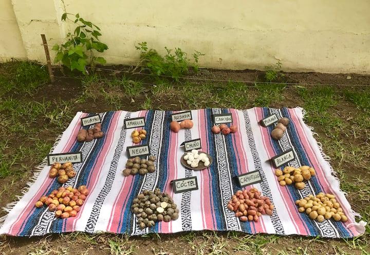 Meet several potato's varieties