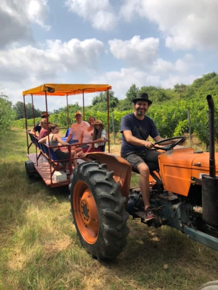 Among vineyards with vintage tractor