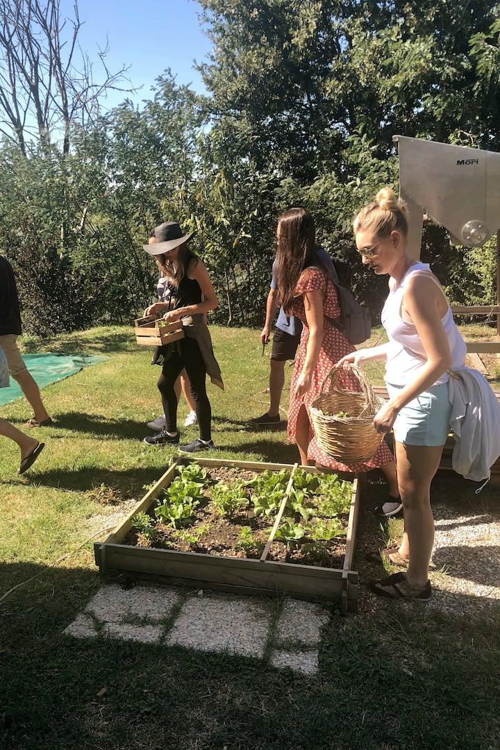 Harvest aromatic herbs