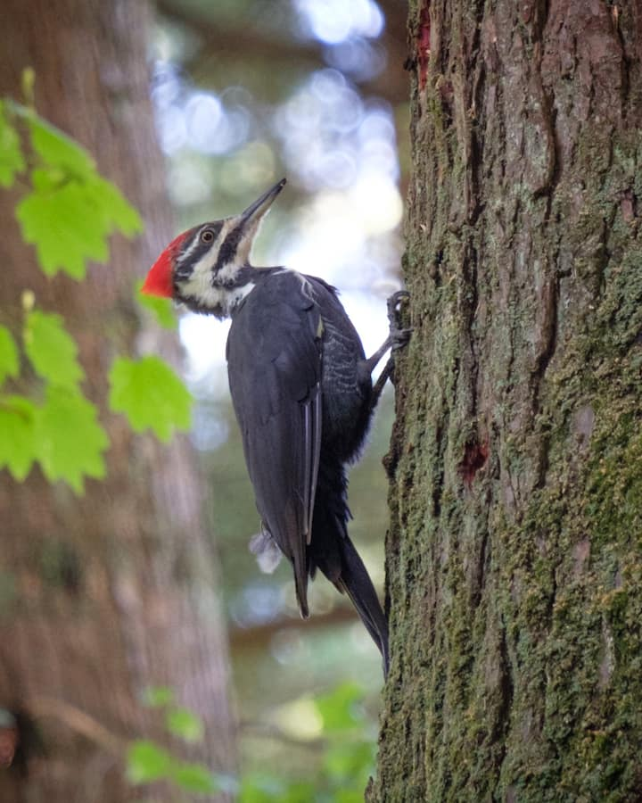 Pileated woodpeckers nest here