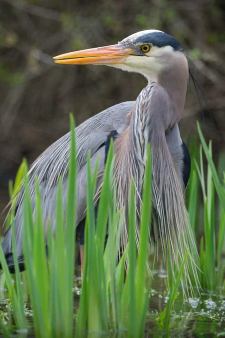 March through August, watch for herons!