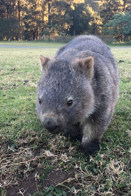 Walking with Wombats Day Tour