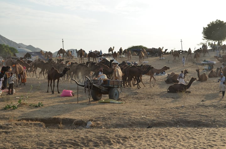 Camels in camel fair