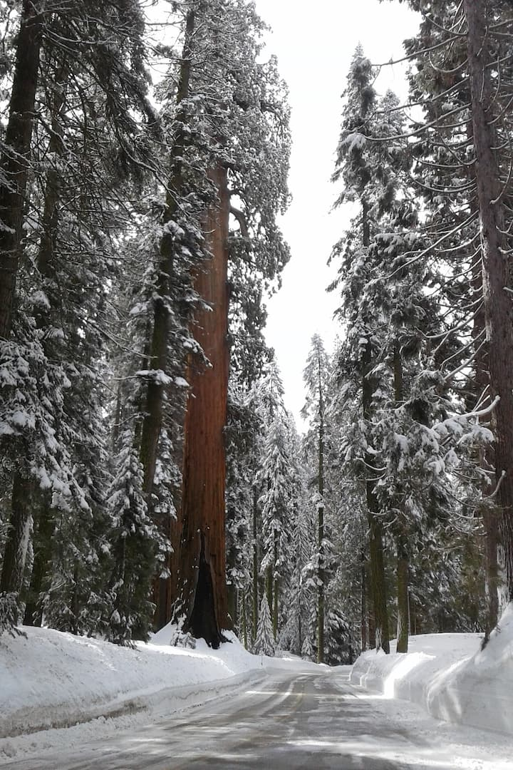 Giant Sequoia winter wonderland