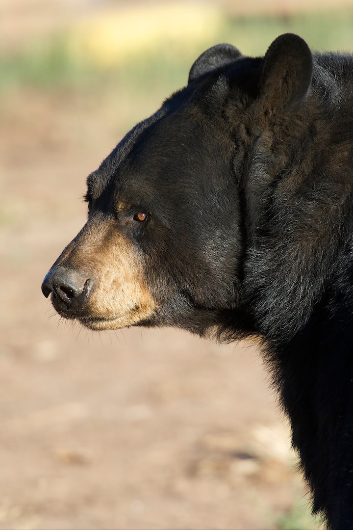 One of our Black Bears, Sugar Bear