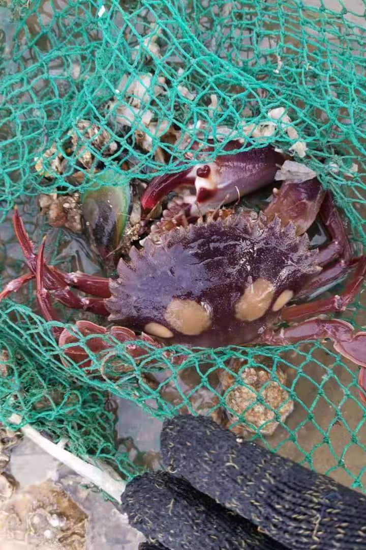 大的石头蟹