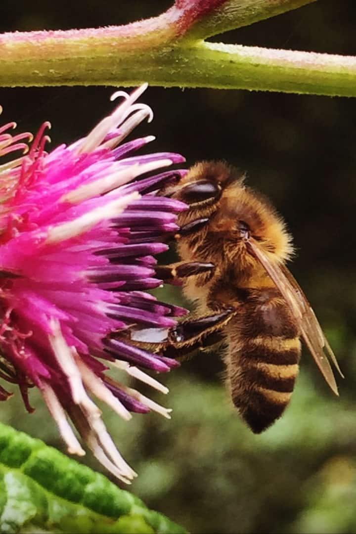 Honeybee & Burdock