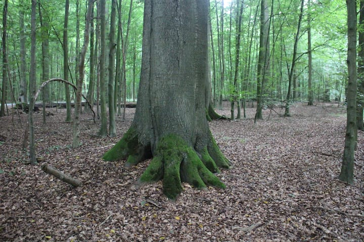 50 mt -277 y old Beech
