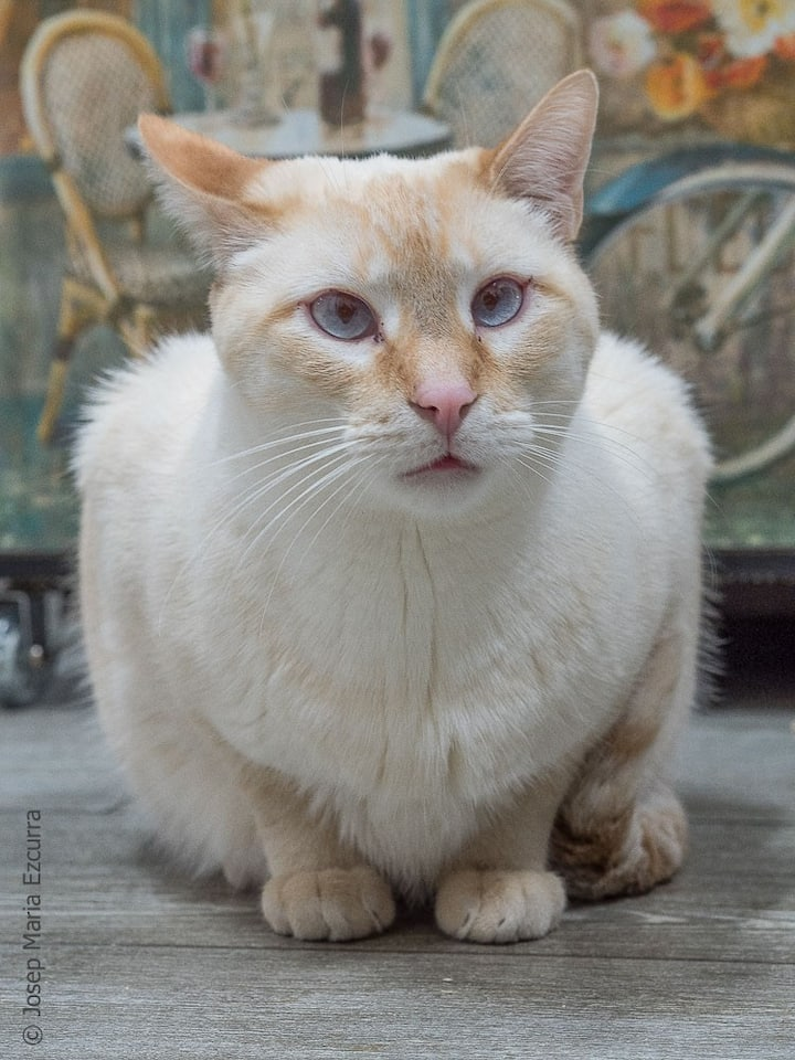 Sugar, gato habitante en adopción