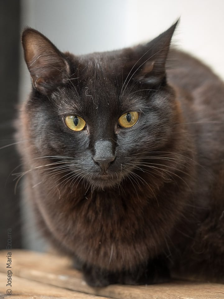 Estel, gato hsbitante en adopción