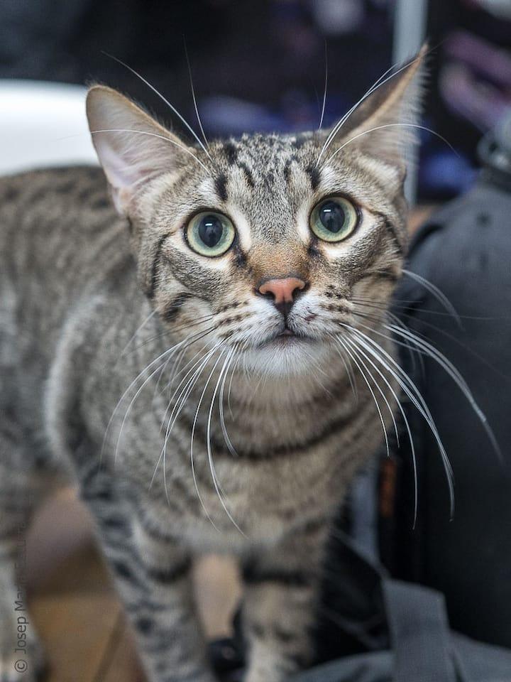 Buddy, gato  habitante en adopción