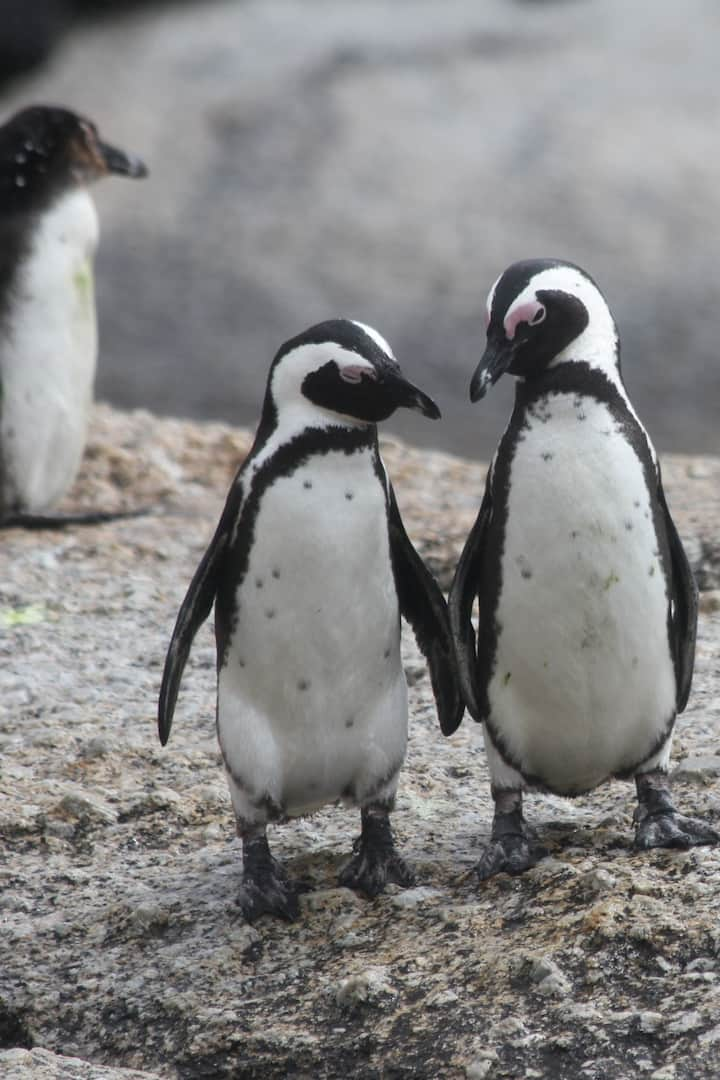 The penguins of Stony Point