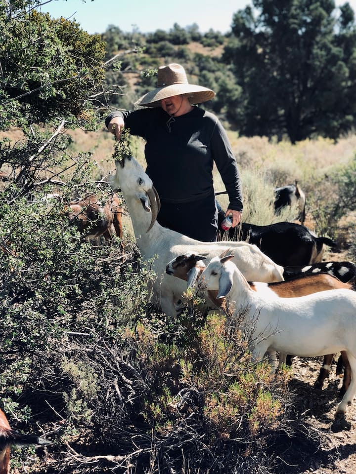 Helping the goats reach a treat