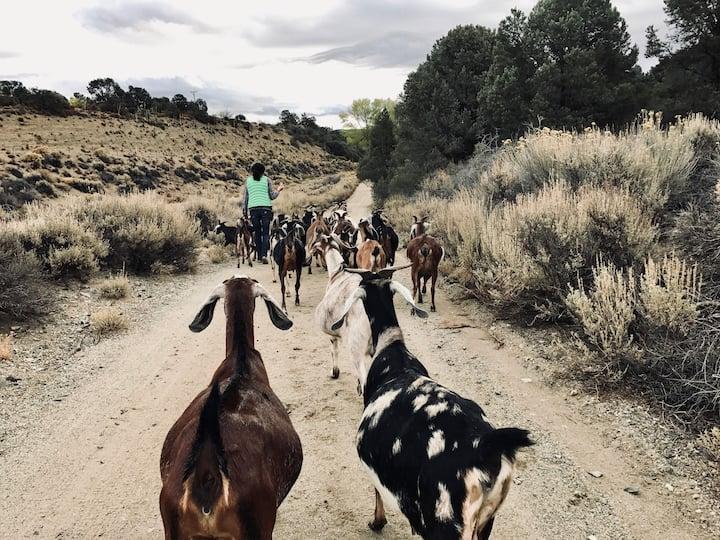 Host Gloria leading the goats