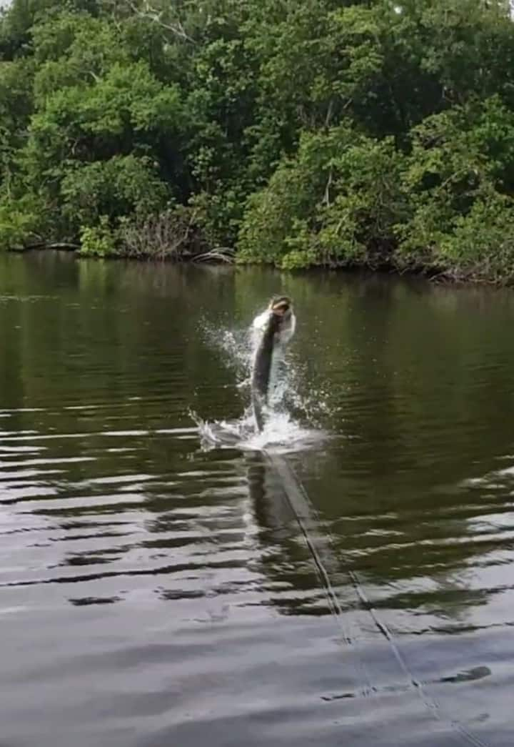 A hooked Tarpon launching from the water