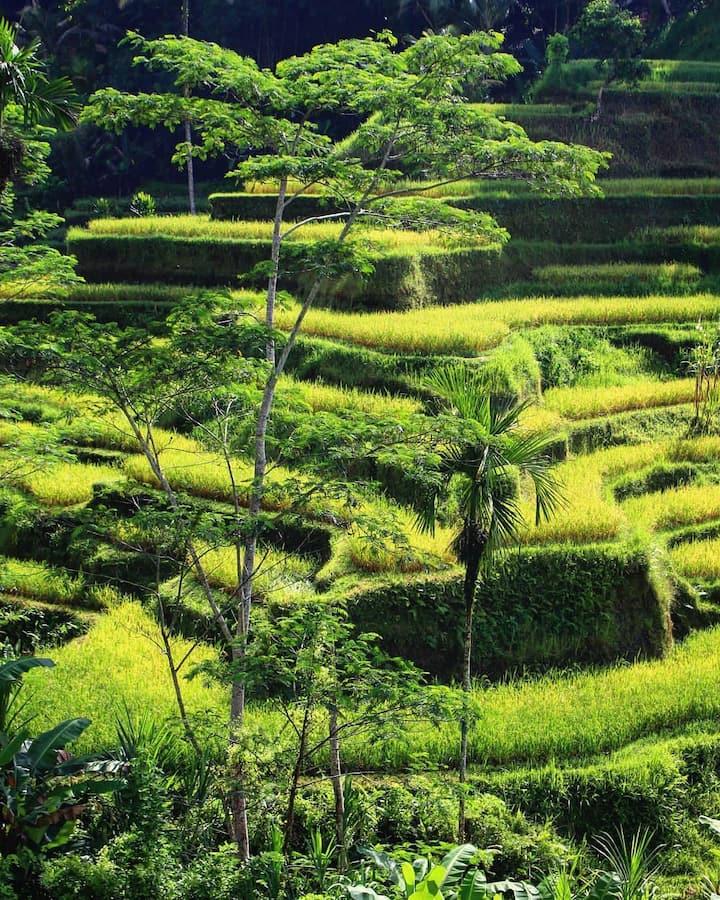 Rice Terrace Tegalalang Ubud