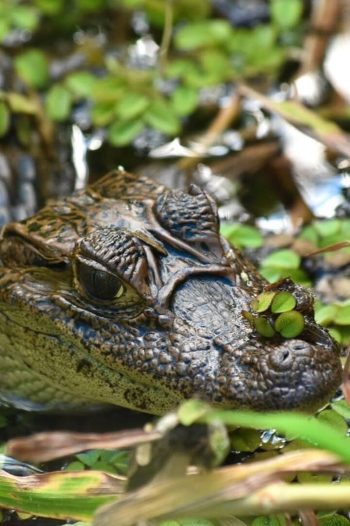 observación de caimanes pequeños