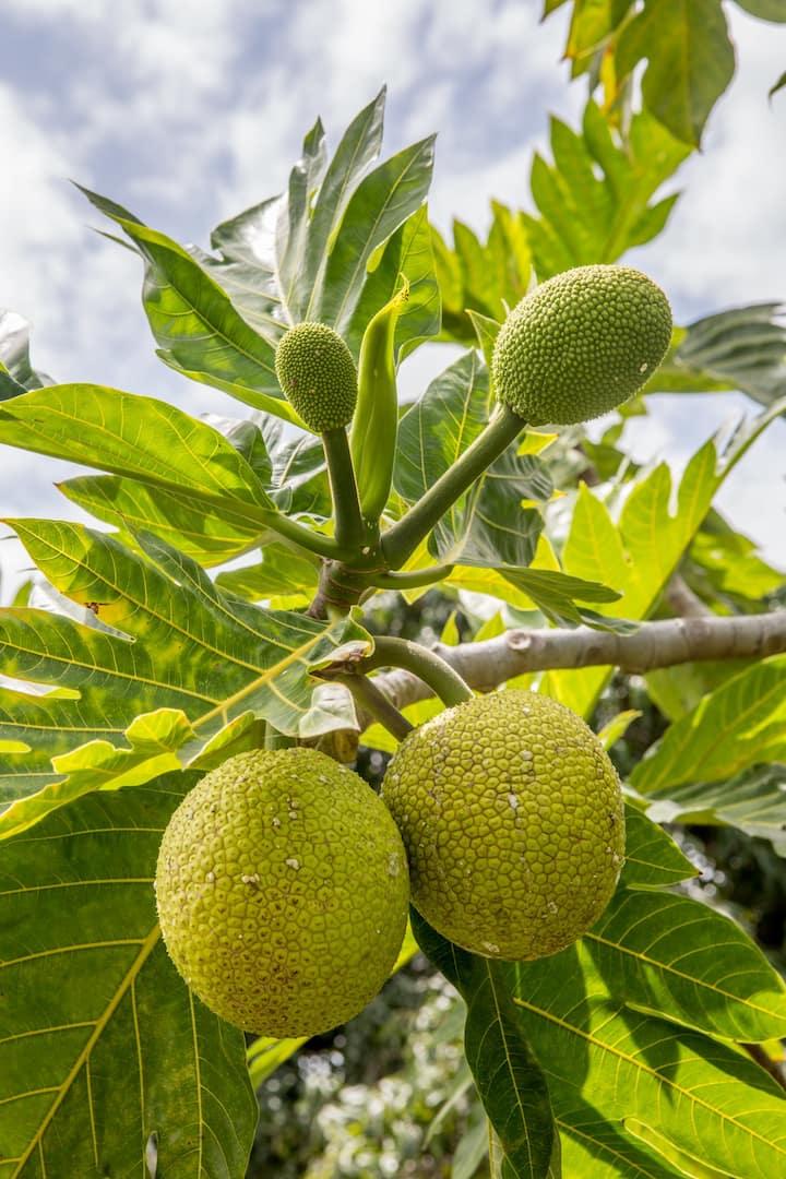 Ulu, or bread fruit is used often.