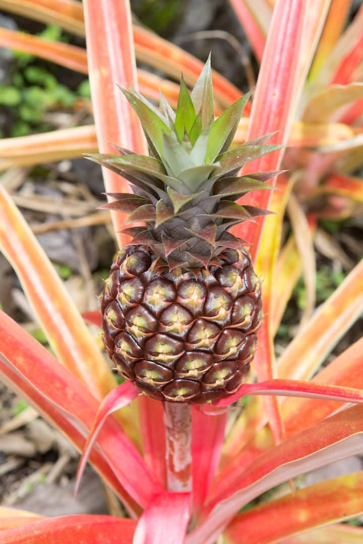 We grow our own white pineapples!