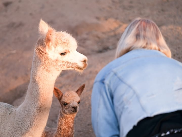 Getting to know the alpacas