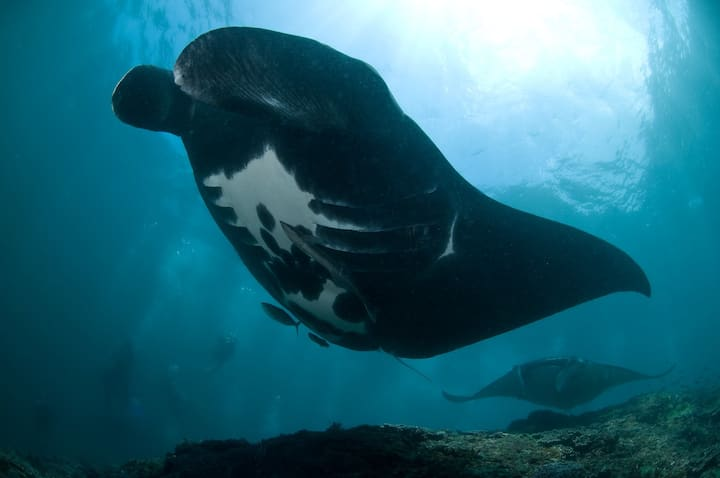 One of our huge resident Manta rays