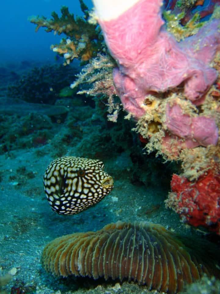 Cute pufferfish