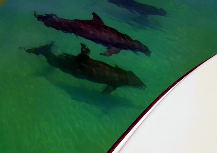 with dolphins at the boat