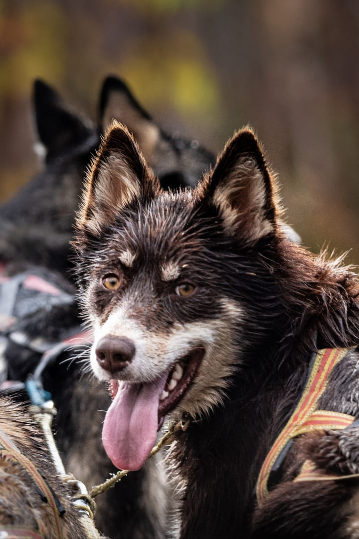 happy huskies!