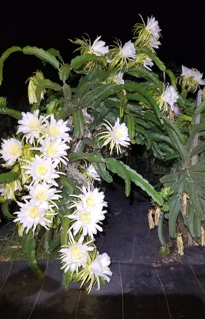 Night Blooming Flowers of Dragonfruit