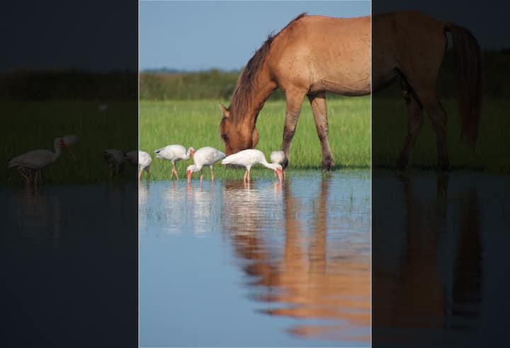 White ibis grazing with a Local