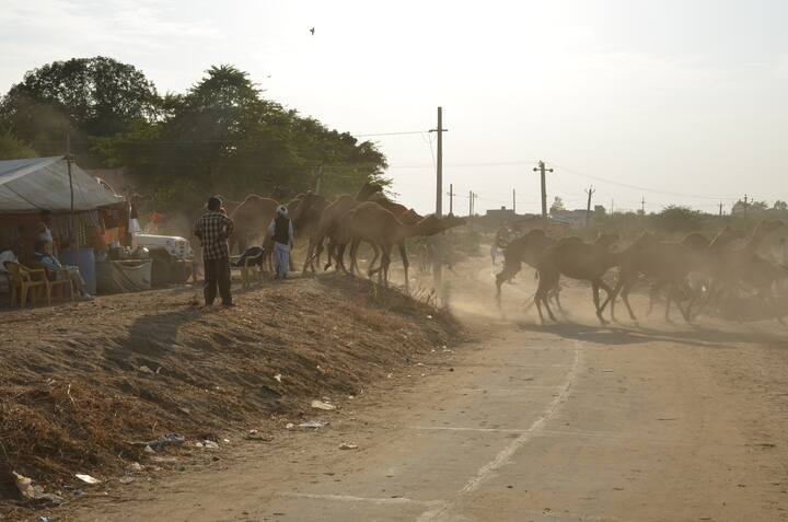Group of camels crossing the road