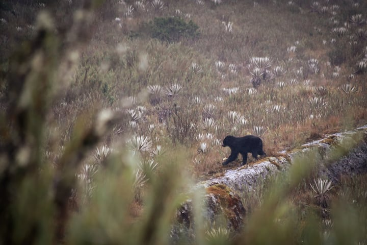 Spectacled bear along the ridge